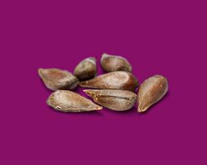 an apple seed