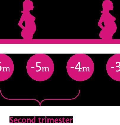 Second trimester<br /> (13 – 26 weeks)